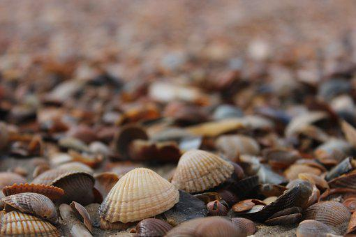 Mussels, Shells, Cowries, Conch, Beach, Sea, Island