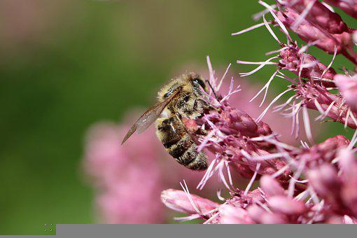 Bee, Honey Bee, Pollinate, Pollination, Insect, Nectar