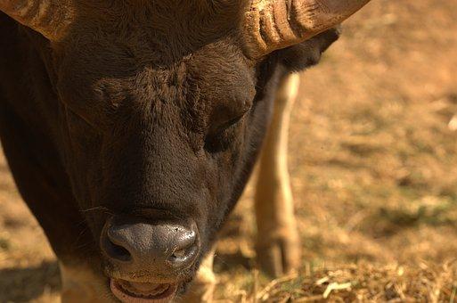 Bison, Buffalo, Water Buffalo, Animal, Wild, Mammal