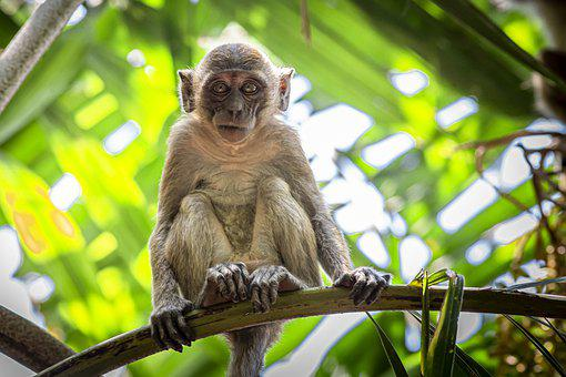 Monkey, Primate, Macaca Fascicularis, Tree, Branch