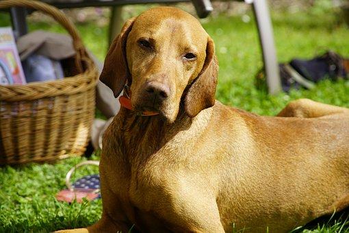 Dog, Pet, Portrait, Brown Dog, Animal, Mammal, Canine