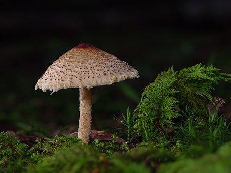 Chestnut Dapperling, Mushroom, Fungus, Lepiota Castanea