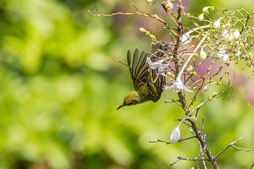Bird, Olive-backed, Sunbird, Cinnyris, Jugularis, Tree