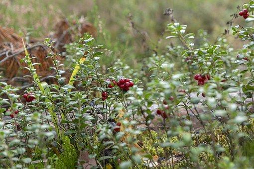 Forest, Mushrooms, Cranberries, Journey, Adventure