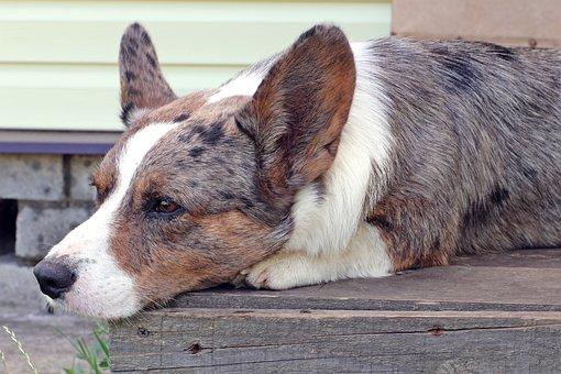 Dog, Corgi, Breed, Pet, Ears, Animal