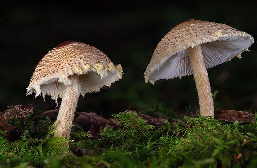 Chestnut Dapperling, Mushrooms, Fungus
