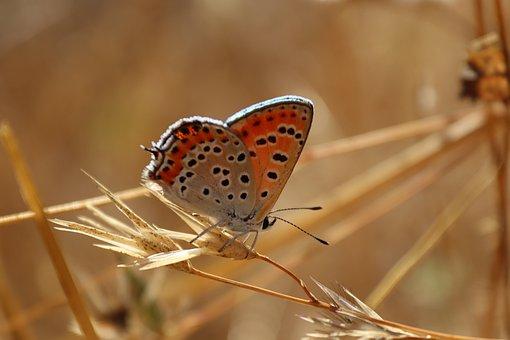 Butterfly, Lesser Fiery Copper Butterfly, Copper