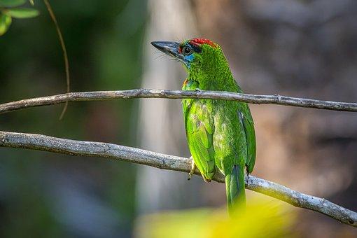 Bird, Megalaima Mystacophanos, Red-throated Barbet