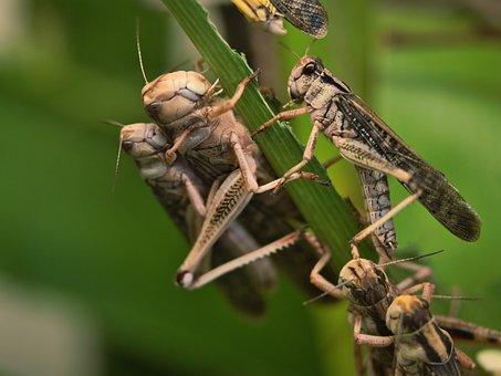 Grasshopper, Migratory Locust, Swarm, Pest