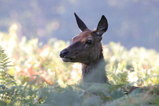 Deer, Red Deer, Buck, Doe, Wildlife, Nature, Forest