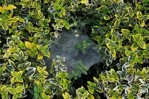 Cobweb, Spider Web, Foliage, Leaves, Plants, Nature