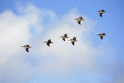 Pelicans, Birds, Flying, Sea Birds, Feathers, Long Beak