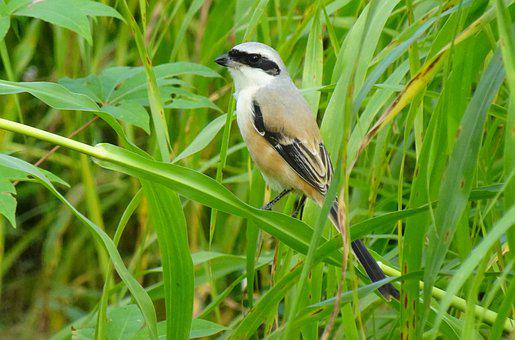Bird, Shrike, Long-tailed Shrike, Perched, Plumage