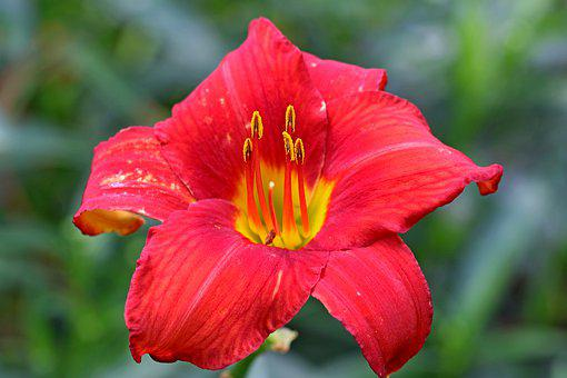 Daylily, Red Daylily, Flower, Red Flower, Hemerocallis