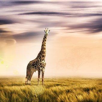 Giraffe, Animal, Wildlife, Ruminant, Wild Animal