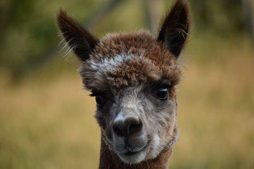 Alpaca, Brown Alpaca, Animal, Wildlife, Wool, Mammal