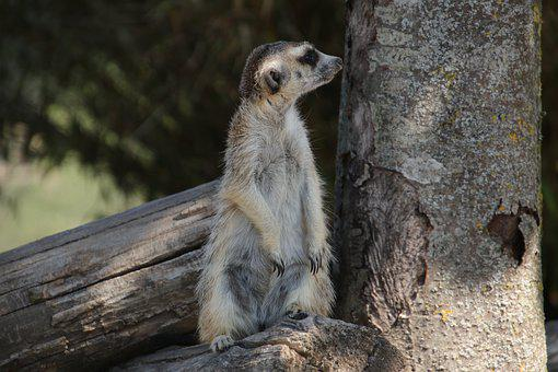 Meerkat, Fauna, Animals, Pixie, Desert