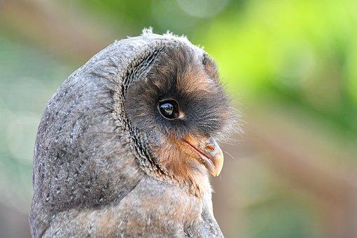 Owl, Owlet, Bird, Young Owl, Raptor, Bird Of Prey