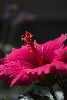 Hibiscus, Flower, Nectar, Bloom, Blossom, Flora