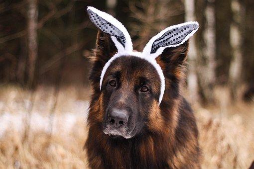 Dog, German Shepherd, Bunny Ears, Bunny Headband