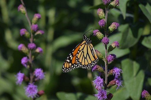 Pollination, Butterfly, Flowers, Monarch Butterfly
