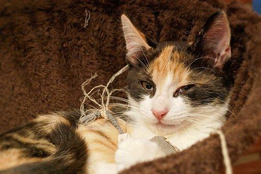 Cat, Calico Cat, Animal, Pet, Domestic Cat, Mammal
