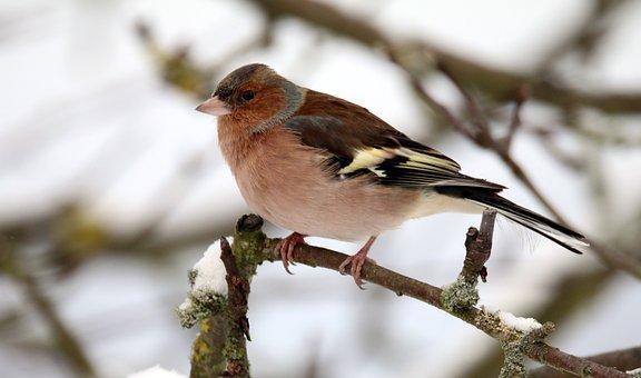 Chaffinch, Male Chaffinch, Bird, Male Bird, Small Bird