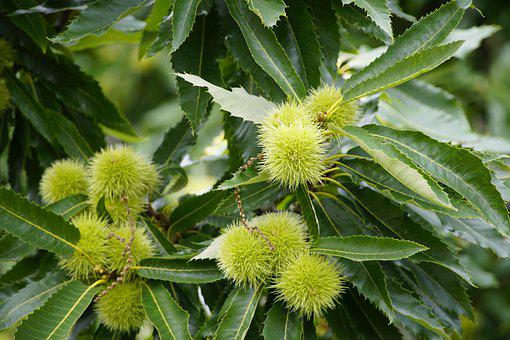 Castanea, Sweet, Chestnut, Fruit, Autumn, Tree, Branch