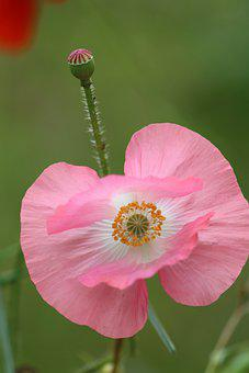Poppy, Pink Flower, Common Poppy, Pink Poppy