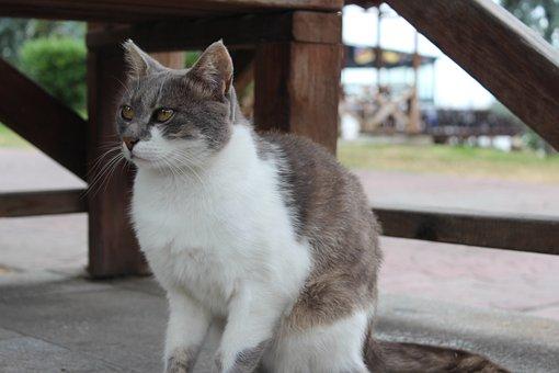 Cat, Animal, Tabby Cat, Gray Tabby Cat, Pet, Feline