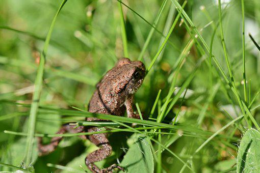 Frog, Toad, Amphibian, Animal, Creature, Wildlife