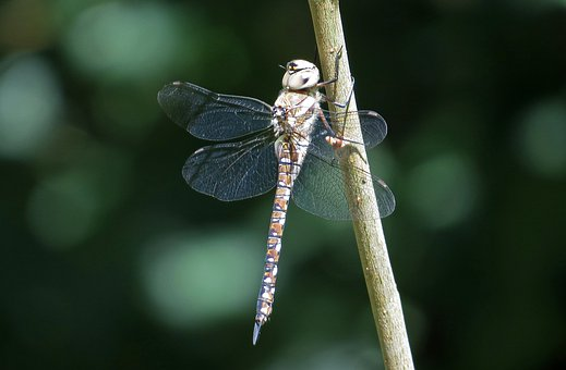 Dragonfly, Insect, Nature, Anisoptera, Garden, Closeup