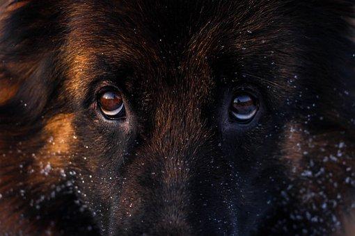 German Shepherd, Dog, Animal, Mammal, Domestic Dog, Pet