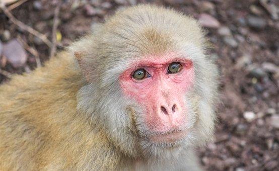 Monkey, Primate, Mammal, Wild, Wild Animal, Wildlife
