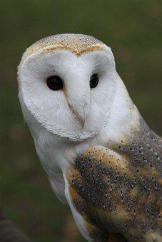 Barn Owl, Owl, Bird, Tyto Alba, Animal, Raptor