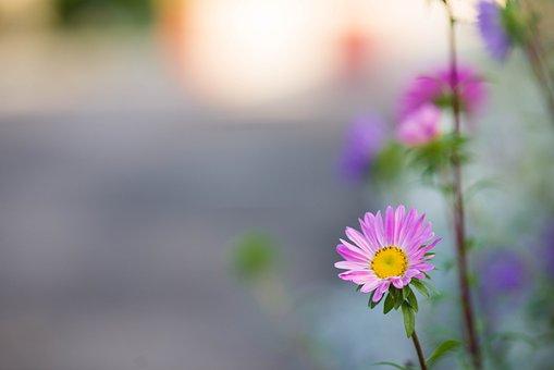 Daisies, Flowers, Pink Daisies, Pink Flowers