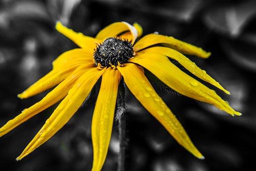 Marigold, Marigold Flower, Yellow Marigold, Rain