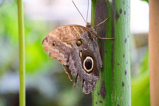 Satyr Butterfly, Butterfly, Insect, Brown Butterfly