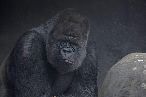 Gorilla, Silverback, Animal, Wild Animal, Wildlife