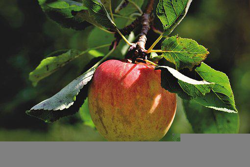 Apple, Apple Tree, Fruit, Tree, Nature, Garden, Orchard