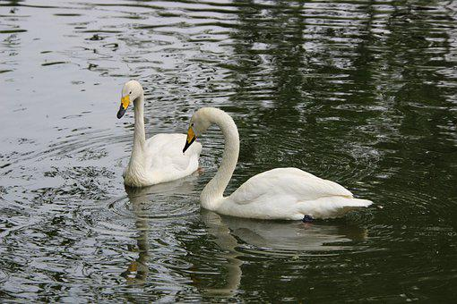 Swans, White Swans, Birds, Water Bird, Aquatic Bird