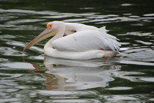 Pelican, Bird, Animal, Water Bird, Aquatic Bird