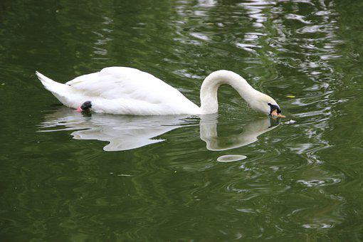 Swan, White Swan, Bird, Water Bird, Aquatic Bird