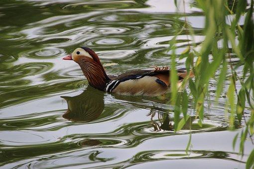 Mandarin Duck, Bird, Water Bird, Aquatic, Waterfowl