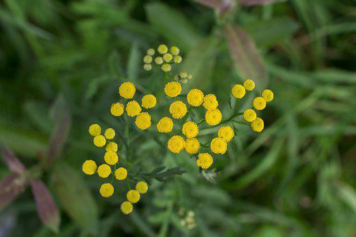 Flowers, Tansy, Medicinal Plant, Beauty, Flora, Nature