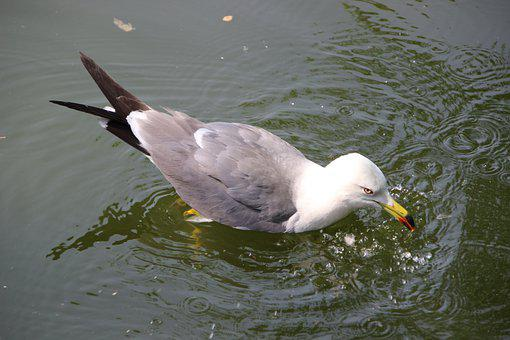 Sea Mew, Sea Gull, Bird, Water Bird, Aquatic, Waterfowl