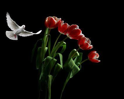 Flowers, Tulips, Dove, White Dove, White Pigeon, Bird