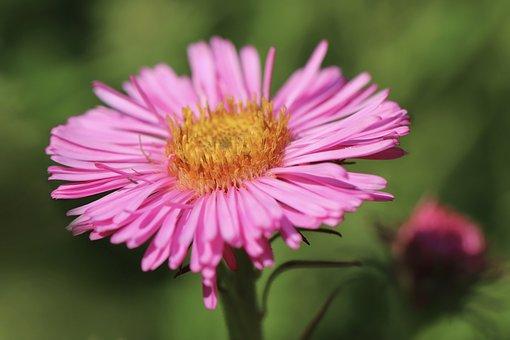 Aster, Blossom, Bloom, Flower, Pink Flower, Pink Aster