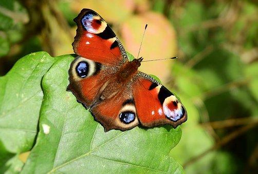 Butterfly, Butterfly Wings, Lepidoptera, Entomology