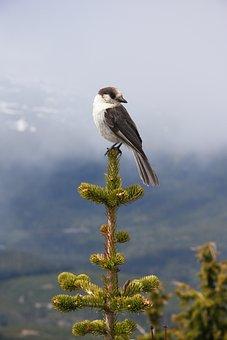 Gray Jay, Bird, Animal, Canada Jay, Camp Robber